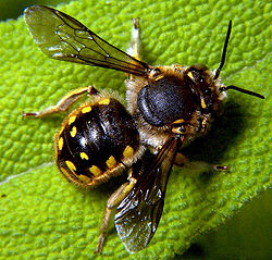 Anthidium manicatum male.jpg