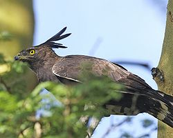 Long-crested eagle (Lophaetus occipitalis) from side.jpg