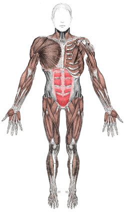 Muscles anterior.png