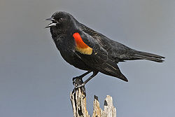 Red winged blackbird - natures pics.jpg