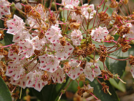 Mountain Laurel Kalmia latifolia 'Olympic Wedding' Young Old Flowers 3264px.jpg